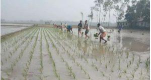 ডিমলায় কনকনে শীতে বোরো ধান রোপনে মাঠে নেমেছে কৃষক